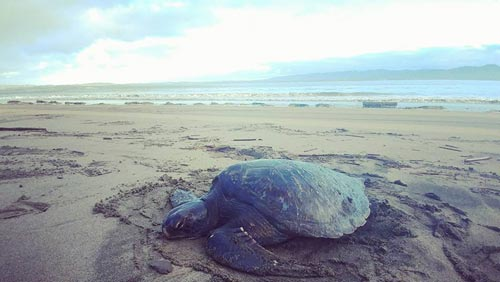 Second Sea Turtle Rescued from Oregon Coast Beaches