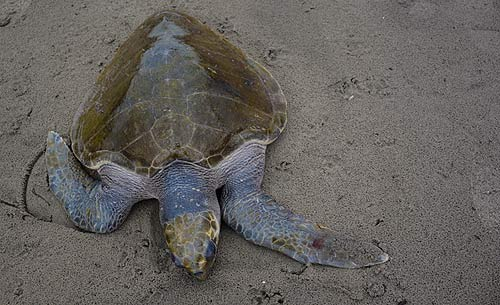 Storm Lashes Second Warm Water Turtle Onto Oregon Coast Beach