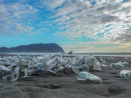 Velella Velella Start Their Purple-Bodied Return to Oregon Coast