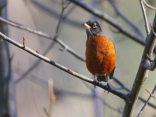 Photo of an American Robin by Ram Papish