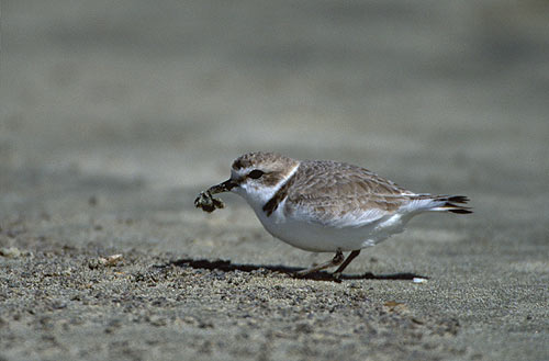 the snowy plover is a threatened species