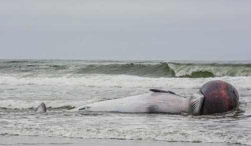 Almost-Exploding Minke Whale Crash-Lands Near N. Oregon Coast