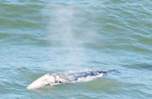 Whale Sightings Bonkers Along Oregon Coast, Well Before Whale Watch Week