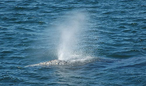 Oregon Coast Whale Watch Week Starts December 27